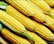 thumbs_o-cultivo-de-milho-no-mundo-4